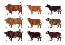 Plantilla del diseño de la granja de la vaca Objetos aislados Elementos de las letras stock de ilustración