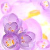 Plantilla del fondo de la flor de las azafranes Imagen de archivo libre de regalías
