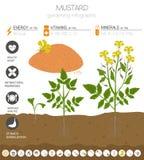 Plantilla gráfica de las características beneficiosas de la mostaza El cultivar un huerto, cultivo infographic, cómo crece Diseño stock de ilustración