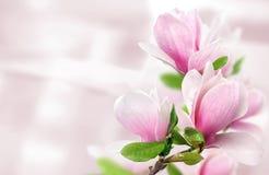 Plantilla rosada del fondo de las flores de la magnolia imagenes de archivo