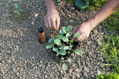 Planting. A farmer while planting some vegetables in his garden royalty free stock photo