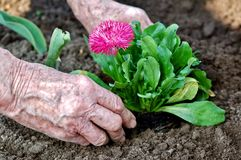 Planting. Old woman planting in the garden royalty free stock images