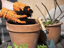 Planting. Ready for planting in a flower pot Royalty Free Stock Photo