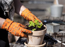 Planting. Ready for planting in a flower pot Royalty Free Stock Photos