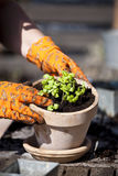 Planting. Ready for planting in a flower pot Royalty Free Stock Images
