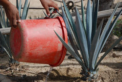 Planting Agave Royalty Free Stock Photo