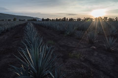Planting of  agave  touched by the rays of the sun Royalty Free Stock Photography
