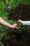 Planting apple trees Royalty Free Stock Images