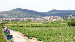 Planting artichokes in the Delta del Llobregat Stock Images