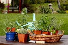 Planting Assortment of Herbs Stock Images