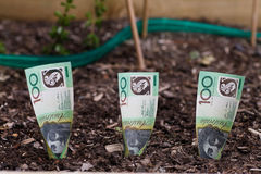 Planting Australian money in Garden Bed