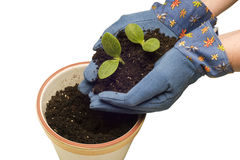 Planting Baby Plants In Flower Pot Royalty Free Stock Photos