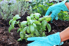 Planting Basil Royalty Free Stock Photos