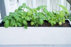 Planting basil herb Stock Image