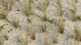 A planting of beach grass, Ammophila arenaria as erosion protect royalty free stock photography