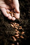 Planting bean seeds. Closeup of a males hand planting bean seeds stock photo