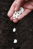 Planting bean seeds. Planting white bean seeds in soil stock photos
