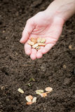 Planting beans Royalty Free Stock Images