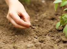 Planting Beans in the Soil. Gardener sowing beans in the garden soil stock images