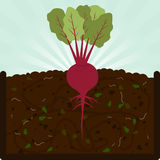 Planting beet and compost Stock Photography