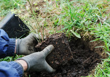 Planting berry bushes. Stock Photos