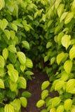 Planting betel. Stock Photography