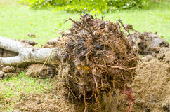 Planting boxwood with roots and Dirt Stock Photo