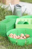 Planting bulb. S in green baskets in fall royalty free stock photos