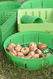 Planting bulb. S in green baskets in fall Royalty Free Stock Images