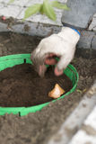 Planting bulb. S in green baskets in fall stock images