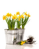 Planting Bulbs. Planting daffodil bulbs in containers on a white background Stock Images