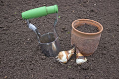 Planting bulbs daffodils. Working in the garden Royalty Free Stock Photos