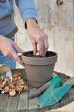 Planting bulbs Royalty Free Stock Image