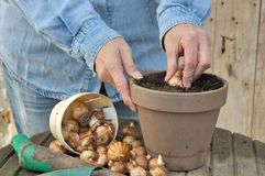 Planting bulbs Stock Images
