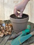 Planting bulbs in pot Royalty Free Stock Photo