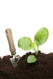 Planting a cabbage Royalty Free Stock Photo
