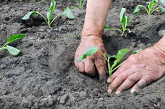 Planting a cabbage seedling Stock Photography