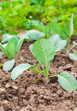 Planting cabbage seedling Stock Photography