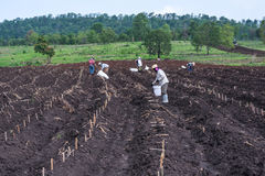 Planting in cassava field. Stock Photos