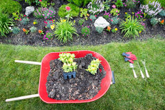 Planting a celosia flower garden in spring. With a high angle view of a red metal wheelbarrow with fertile soil and seedlings on a neat green lawn alongside a Royalty Free Stock Images