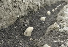 Planting seed Potatoes. Planting chitted seed potatoes in a vegetable garden trench with a bed of compost. Variety Arran Pilot a first early white potato Royalty Free Stock Image