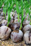 Planting coconut Stock Images