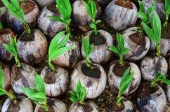 Planting coconut Stock Image