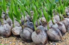 Planting coconut Stock Photos