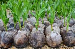 Planting coconut Stock Photo