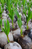 Planting coconut Royalty Free Stock Image