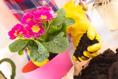 Planting colorfull flower in a flowerpot. Hands in yellow glowes planting colorfull flower in a flowerpot stock photography