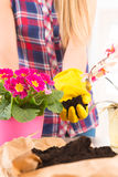 Planting colorfull flower in a flowerpot Royalty Free Stock Photo