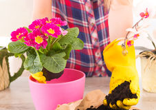 Planting colorfull flower in a flowerpot Stock Image