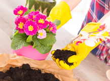 Planting colorfull flower in a flowerpot. Hands in yellow glowes planting colorfull flower in a flowerpot royalty free stock photos